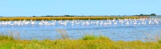 Une colonie de flamants roses dans la lagune
