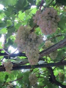 Les vignes retrouvées de Venise